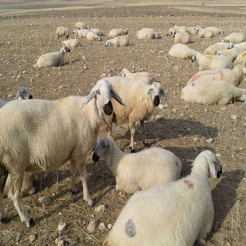 Koyunlarda gebelik zehirlenmesi!