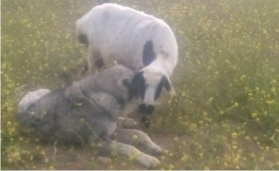 Koyunla köpeğin ilginç dostluğu