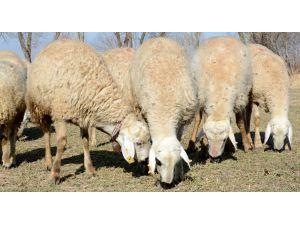 Kurban Bayramı'nda 'koyun kurban edin' çağrısı