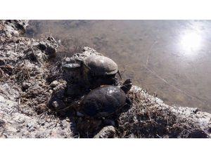Balıkçı ağlarına av olan su kaplumbağaları kurtarıldı