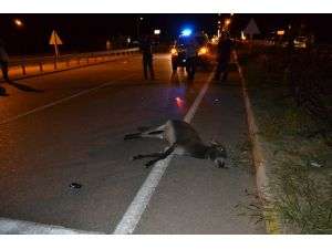Başıboş hayvanlar kazaya neden oldu