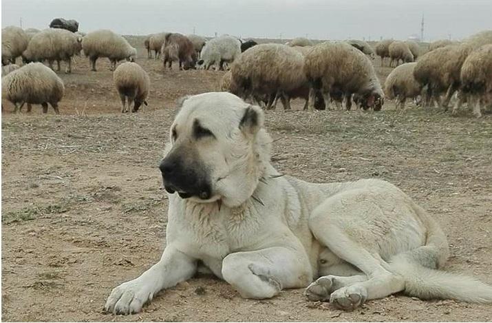 Hırsızlıkta son nokta, çoban köpeğini çaldılar