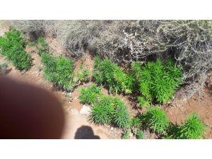 Aksaray'da müstakil evin bahçesinde ekili Hint keneviri ele geçirildi
