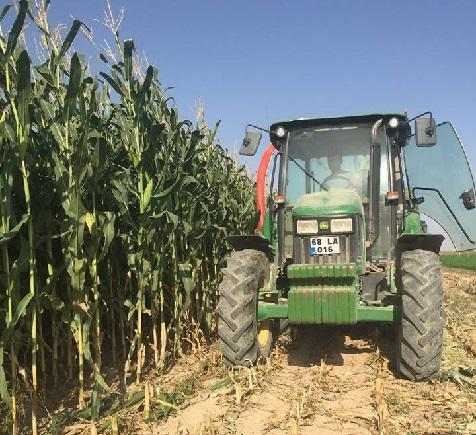 Eskil'de sılajlık mısır hasadı sürüyor!