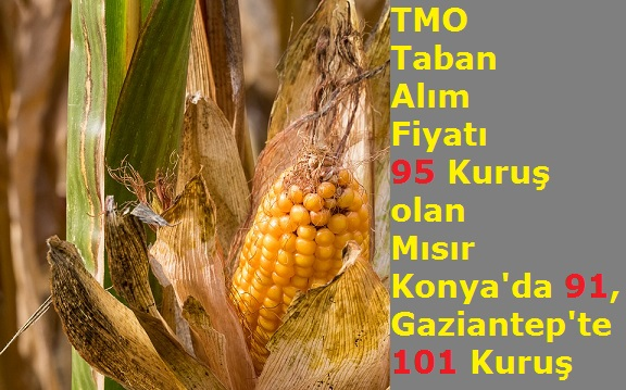 TMO Taban Alım Fiyatı 95 Kuruş olan Mısır Konya'da 91, Gaziantep'te 101 Kuruş