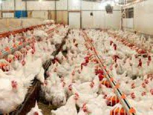 Şubat 2019,Kümes Hayvancılığı Üretimi