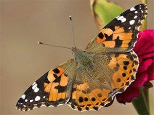 """Aksaray'da görülen  """"Vanessa"""" diken kelebeği zararsızdır"""