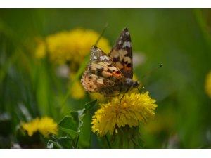 Diken kelebekleri Konya'ya renk katıyor