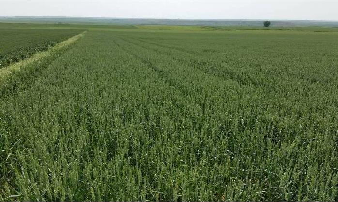 Yağmur yağmazsa çiftçinin emekleri boşa gidecek! Ekinlerde kuraklık tehlikesi!