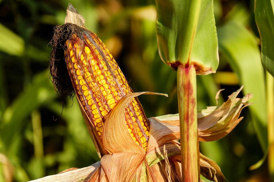 Haziran ayında en çok kazandıran ürün olan mısır, son 5 yılın zirvesinde
