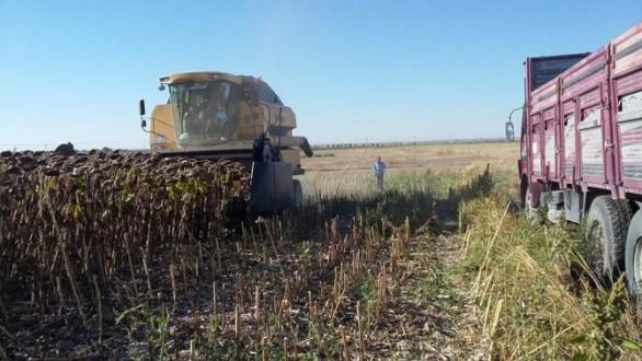 Hasadı başlayan ayçiçeğinde ekim alanı ve rekolte düştü!
