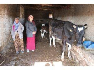 Aksaray'da Ahırdan İnek Hırsızlığı! Yaşlı Kadının İnekleri Çalındı