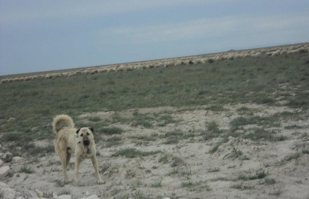 Karetepe'de koyun otlatacak sürü sahipleri dertli!