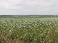 Konya'da 13 ilçede haşhaş ekimi serbest