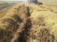 Pirinç değil arpa tarlası, çamurda arpa hasadı!