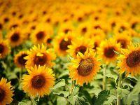 Çukobirlik yağlık ayçiçeği kilogram alım fiyatını 1,550 TL olarak açıkladı.