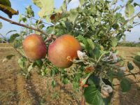 Beyşehir'de Dalında Elma Olan Ağaçlar Çiçek Açtı