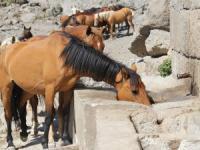 Yılkı atları kısırlaştırılıyor