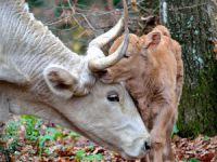 Anaç sığır, manda ve buzağı destekleri ödeniyor!