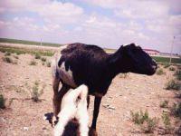 Bu oğlağın süt annesi bir koyun