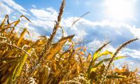 Bu yıl tahıl üretiminde azalma bekleniyor