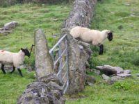 Esrar yiyen koyunlar çıldırdı!