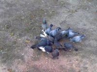 Yuh artık! Bu kez de güvercin çaldılar