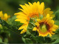 Ayçiçeği ve mısır tohumumuzu kimler üretiyor?