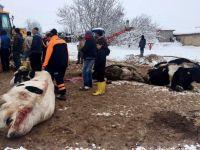 Aksaray'da Aşırı kar yağışından 2 Mandıra Çöktü! 20 inek telef oldu