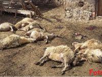 Eskil'de kurtlar 8 koyunu telef etti