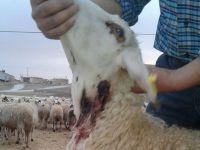 Kıraç'ta kurt tehlikesi sürüyor! 2 günde 2 ayrı köyde koyunlar telef oldu