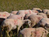 Fanatik CHP'li koyunlar bunlar!