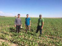 Kulu'da bin 300 dekarlık alanda silaj mısırı kontrolü