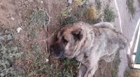 Eskil'de yılanın ısırdığı çoban köpeği telef oldu
