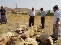Ortaköy'de kurt 40 koyunu telef etti