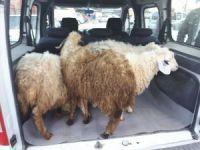 Çaldığı koyunları satmak isterken yakalandı