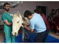 Silahla Vurularak Yaralanan At, Selçuk Üniversitesinde Rehabilite Ediliyor