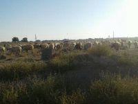 Eskil'deki tarihi mezarlıkta koyunlar otluyor!