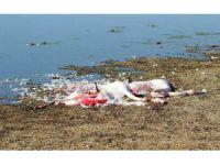 Ereğli Akgöl'de Flamingolar Vurulmuş ve Parçalanmış Halde Bulundu