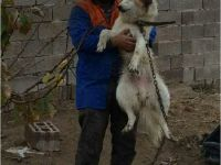 Eskil'de şaka gibi olay! Hırsızlara karşı bağlı köpeği hırsızlar çaldı