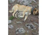Kangal köpeğinden kuzuya şefkat