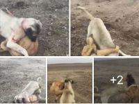Köpekleri bu şekilde dövüştürenler 2 aydan 2 yıla kadar hapisle cezalandırılacak