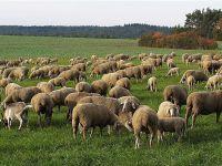 """Fakıbaba, """"Her aileye 300 koyun vereceğiz"""""""