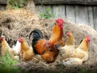Fransa'dan radikal karar! Kafeste yaşayan tavuğun yumurtası yasaklanıyor!