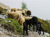 300 koyun projesine başvuru nasıl yapılacak? İşte başvuru adresi