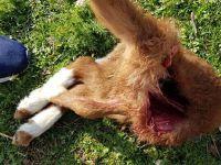 Eskil'de başıboş köpek dehşeti! Kuzuları bu hale getirdiler