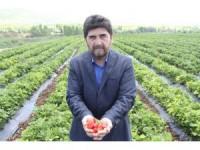 Derbent'te çilek hasadı başlıyor
