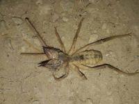 Yunak'ta et yiyen örümcek paniği