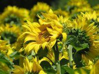 Bayraktar'dan ayçiçeğinde fiyat uyarısı
