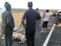 Eskil'de araba koyun sürüsüne çarptı 12 koyu telef oldu